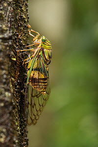 Cicadas (Cicadidae) on tree trunk, Queensland, Australia. - Jurgen Freund