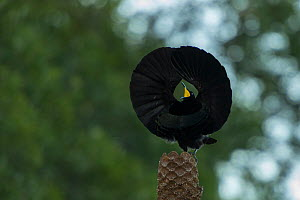 Victoria's riflebird (Ptiloris victoriae) displaying, Atherton Tablelands, Queensland, Australia. - Jurgen Freund