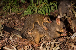 Common brushtail possum (Trichosurus vulpecula) with joey. Magnetic Island, Townsville, Queensland,Australia. - Jurgen Freund