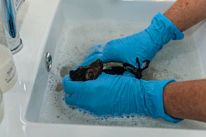 Tolga Bat Hospital worker washing Spectacled flying fox baby (Pteropus conspicillatus) in a sink at the Tolga Bat Hospital, Queensland, Australia. - Jurgen Freund