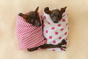 Little red flying fox (Pteropus scapulatus) babies wrapped in blankets at Tolga Bat Hospital, Queensland, Australia. - Jurgen Freund