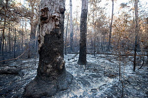Scorched tree after fire in Tumoulin State Forest, Queensland, Australia, October. - Jurgen Freund