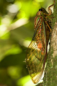 Cicada (Cicadidae) on tree trunk, Queensland, Australia. - Jurgen Freund