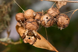 Bird-dropping spider (Celaenia excavata) on egg sac, Queensland, Australia.  -  Jurgen Freund