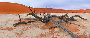 Tourists walking among ancient dead Camelthorn tree (Vachellia erioloba) in Deadvlei, Sossusvlei Salt Pan, Namib Naukluft National Park, Namibia  -  Juan  Carlos Munoz