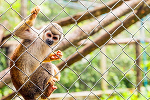Squirrel monkey (Saimiri) holding fence, captive, Ecuador. November.  -  Merryn  Thomas
