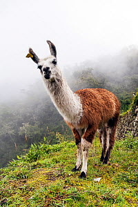 Llama (Lama glama) in Andes Mountains, Inca Trail, Peru. December 2013.  -  Merryn  Thomas