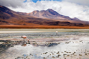 Andean Flamingoes (Phoenicoparrus andinus) on the Altiplano, Sur Lipez Province, Potosi Department, Bolivia. December 2013.  -  Merryn  Thomas