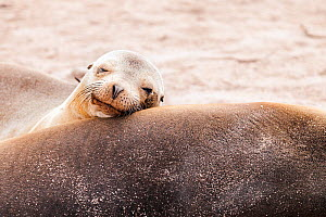 Head portrait of Galapagos sealion (Zalophus californianus wollebaeki) young resting on mother. San Cristobal, Galapagos. Ecuador, November. (This image may be licensed either as rights managed or roy...  -  Merryn  Thomas