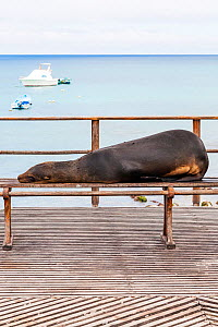Galapagos sealion (Zalophus californianus wollebaeki) lying on bench. San Cristobal, Galapagos. Ecuador, November. - Merryn  Thomas