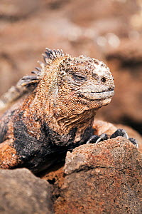 Portrait of Marine Iguana (Amblyrhynchus cristatus) on rocks. San Cristobal, Galapagos, Ecuador. November.  -  Merryn  Thomas