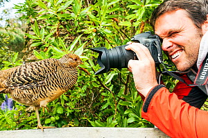 Man photographing female Golden pheasant (Chrysolophus pictus) on bench in Tresco Abbey Gardens, Isles of Scilly, England. May 2013. Model released.  -  Merryn  Thomas