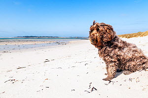 Domestic mixed breed (Tibetan Terrier / Cocker Spaniel) on Middletown Beach, St. Martin's, Isles of Scilly, England, UK. May 2013.  -  Merryn  Thomas