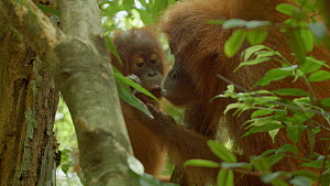 Female Sumatran orangutan (Pongo abelii) 'Wati' feeding on ants, with a juvenile wanting to join in, Bukit Lawang Orangutan Sanctuary, Gunung Leuser National Park, North Sumatra, Indonesia. - Jabruson Motion