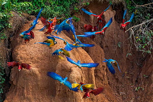 Scarlet macaws (Ara macao) and Blue and yellow macaws eating clay close to the Tambopata river. Tambopata Reserve, Madre de Dios, Peru.  -  Lucas Bustamante