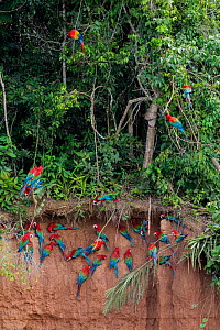 Scarlet macaws (Ara macao) and Red and green macaws (Ara chloroptera) at  clay lick  close to the Tambopata river. Tambopata Reserve, Madre de Dios, Peru.  -  Lucas Bustamante