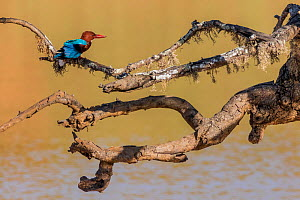 White-throated kingfisher (Halcyon smyrnensis) Yala National Park, Southern Province, Sri Lanka. - Lucas Bustamante