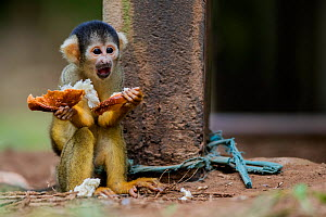 Common squirrel monkey (Saimiri sciureus) baby, illegally taken from the wild and kept  tied up as a pet in an indigenous community in the Peruvian Amazon.  Tambopata Reserve, Madre de Dios, Peru.Marc...  -  Lucas Bustamante