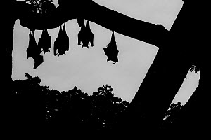 Indian flying foxes (Pteropus giganteus) roosting in  tree,Yala National Park, Southern Province, Sri Lanka.  -  Lucas Bustamante