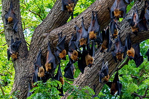Indian flying foxes (Pteropus giganteus) roosting in tree, Yala National Park, Southern Province, Sri Lanka  -  Lucas Bustamante