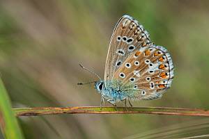 Adonis blue butterfly (Polyommatus bellargus), Bavaria, Germany, August. - Martin Gabriel