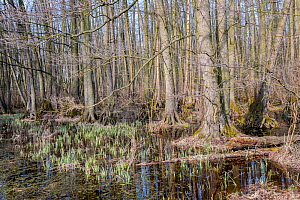 Black alder (Alnus glutinosa) swamp forest, Lake Neusiedl, Hungary, April.  -  Martin Gabriel