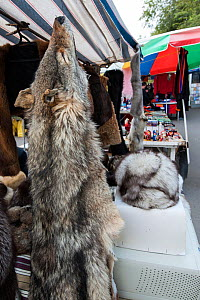 Wolf (Canis lupus) fur skin for sale at the 'Vernissage' weekend market in Yerevan city, Armenia, October 2012.  -  Martin Gabriel