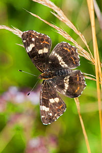 Map Butterfly (Araschnia levana f. prorsa), second brood, Bavaria, Germany, July. - Martin Gabriel
