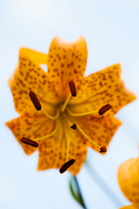 Lily flower (Lilium leichtlinii) flower close-up showing stamen flowering in a garden in Bavaria, Germany, July.  -  Martin Gabriel