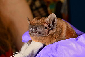 Noctule bat (Nyctalus noctula) held up at a public outreach event by Samantha Pickering, Boscastle, Cornwall, UK, October.  Model released. - Nick Upton