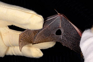Brown long-eared bat (Plecotus auritus) with a wing damaged when the bat became stuck to flypaper, inspected by Samantha Pickering at the bat rescue centre at her home, Barnstaple, Devon, UK, October...  -  Nick Upton