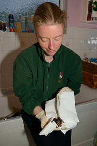 Samantha Pickering holding a Brown long-eared bat in her bathroom (Plecotus auritus) that she has just successfully separated from the flypaper it was badly stuck to in her bathroom, North Devon Bat C... - Nick Upton