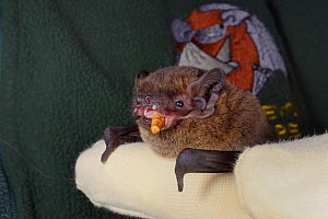Leisler's / Lesser noctule bat (Nyctalus leisleri) eating a mealworm at North Devon Bat Care, Devon, UK, October 2015. Model released. - Nick Upton