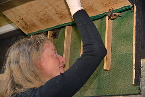 Samantha Pickering opening a bat box within a flight cage at dusk to encourage a rescued Brown long-eared bat (Plecotus auritus) out so that its ability to fly can be tested before release back to the...  -  Nick Upton
