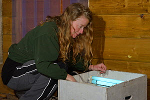 Samantha Pickering inside her flight cage checking a moth trap which attracts insects through the mesh for recovering bats to catch before release back to the wild, North Devon Bat Care, Barnstaple, D...  -  Nick Upton