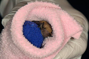 Rescued week old abandoned Common pipistrelle bat pup (Pipistrellus pipistrellus) clinging to a ball of fabric and wrapped in a fleece before being placed in an incubator between feeds, North Devon Ba...  -  Nick Upton