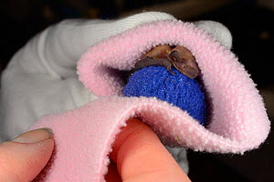 Rescued week-old abandoned Common pipistrelle bat pup (Pipistrellus pipistrellus) clinging to a ball of fabric and being wrapped in a fleece before being placed in an incubator between feeds, North De... - Nick Upton