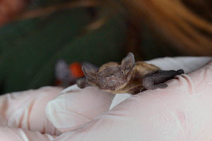 Rescued week-old abandoned Common pipistrelle bat pup (Pipistrellus pipistrellus) held in a hand after being fed with goat's milk, North Devon Bat Care, Barnstaple, Devon, UK, June 2016. Model release... - Nick Upton