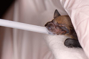 Rescued week old abandoned Common pipistrelle bat pup (Pipistrellus pipistrellus) being fed with goat's milk from a pipette, North Devon Bat Care, Barnstaple, Devon, UK, June 2016. Model released - Nick Upton