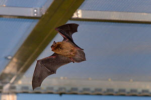Rescued Common pipistrelle bat (Pipistrellus pipistrellus) flying in a flight cage at dusk, having its ability to capture insects on the wing tested before release back to the wild, North Devon Bat Ca...  -  Nick Upton