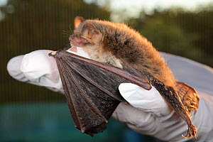 Rescued Natterer's bat (Myotis nattereri) held in a hand at dusk, having its recovery and ability to fly tested in a flight cage before release back to the wild, North Devon Bat Care, Barnstaple, Devo... - Nick Upton