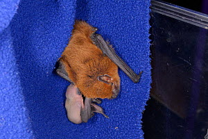 Rescued Common pipistrelle bat (Pipistrellus pipistrellus) with a young pup, just a few days old, partly hidden as it suckles from her, North Devon Bat Care, Barnstaple, Devon, UK, June 2016. - Nick Upton