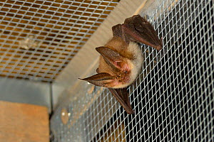 Rescued Brown long-eared bat (Plecotus auritus) resting in a flight cage after landing, having its recovery and ability to capture insects on the wing tested before release back to the wild,North Devo...  -  Nick Upton