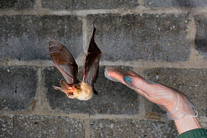 Rescued Brown long-eared bat (Plecotus auritus) flies from a hand as it has its ability to fly tested in a flight cage before release back to the wild, North Devon Bat Care, Barnstaple, Devon, UK, Jun... - Nick Upton