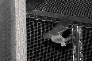 Rescued Brown long-eared bat (Plecotus auritus) flying in a flight cage eating a moth it has caught, having its ability to capture insects on the wing tested before release back to the wild, North Dev... - Nick Upton