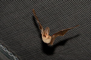 Rescued Brown long-eared bat (Plecotus auritus) with an injured ear flying in a flight cage, having its recovery and ability to capture insects on the wing tested before release back to the wild,North...  -  Nick Upton