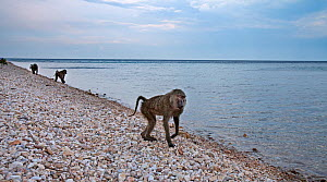 Olive baboon (Papio cynocephalus anubis) female walking along the shores of Lake Tanganyika. Gombe National Park, Tanzania. May 2012. - Anup Shah