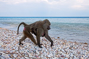Olive baboon (Papio cynocephalus anubis) female carrying her baby walking along the shores of Lake Tanganyika, Gombe National Park, Tanzania. May 2012. - Anup Shah