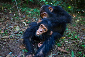 Eastern chimpanzee (Pan troglodytes schweinfurtheii) 'Gimli' aged 8 years grooming infant brother 'Gizmo' aged 3 years. Gombe National Park, Tanzania. May 2012.  -  Anup Shah