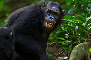 Eastern chimpanzee (Pan troglodytes schweinfurtheii) female 'Glitter' aged 14 years grimacing as part of greeting while being protective over new born baby aged 5-6 days. Gombe National Park, Tanzania...  -  Anup Shah